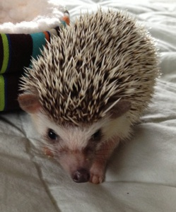 Oscer, the therapy hedgehog