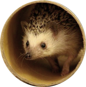 Oscer the hedgehog playing in a tube