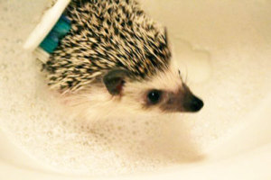 oscer the hedgehog bathing